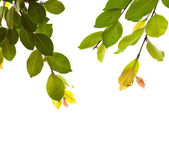 Green leaves on white background — Foto Stock