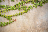 The Green Creeper Plant on vintage wall — Стоковое фото