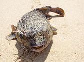 Sahilde kirpi — Stok fotoğraf