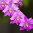 Stock Photo: Pink orchid blossom in the garden