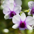 Closeup of White and Purple Orchid — Stock Photo