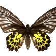Golden bird wing butterfly isolated on white — Stock Photo