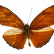Beautiful Julia Heliconian (Dryas iulia) butterfly isolated on w — Stock Photo #13662599