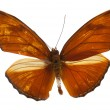 Beautiful Julia Heliconian (Dryas iulia) butterfly isolated on w — Stock Photo