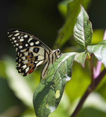 Lime butterfly on green leave — Stock Photo