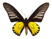 Common birdwing butterfly isolated on white — Stock Photo