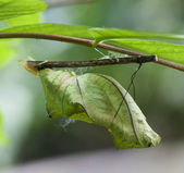 Butterfly chrysalis hanging on branch — Stock Photo