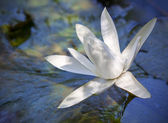 Closeup white lotus flower in the lake — Stock Photo