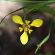 Beautiful wild yellow orchids on a green background - Stockfoto