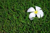Frangipani tropical flower on green grass — Stock Photo