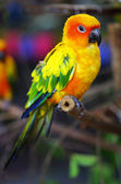 Sun Conure Parrot on a Tree Branch — Стоковое фото