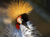 Portrait of a beautiful crowned crane bird backlit by the sun — Zdjęcie stockowe