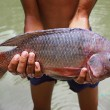 Big tilapia in hands - Stock Photo