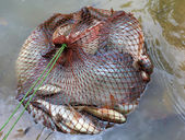 Tilapia fish in mesh bag — Stock Photo