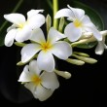 Branch of tropical flowers frangipani (plumeria) — Stock Photo #26396481