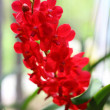 Red Orchid — Stock Photo