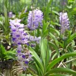 Pink or purple Rhynchostylis Gigantea(orchids in thailand)  — Stock Photo