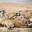 Family of Meerkats — Stock fotografie