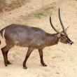 Stock Photo: Portrait Of waterbuck