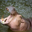 Hippo Hippopotamus open its mouth — Stock Photo