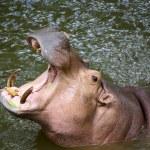 Hippo Hippopotamus open its mouth — Stock Photo