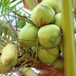 Green coconut at tree  — Stock Photo