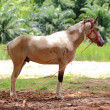 Stock Photo: Brown horse stands in meadow
