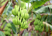 Green and unripe cultivar bananas on tree — Stock Photo