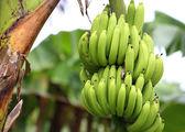 Green and unripe cultivar bananas on tree — Stock Photo