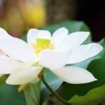 Blossom white lotus flower — Stock Photo #32074817