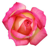 Pink rose on white background — Photo
