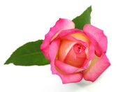 Pink rose on white background — Stock Photo