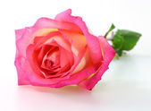 Pink rose on white background — Foto de Stock
