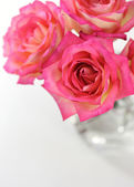 Pink rose on white background — 图库照片