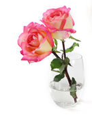 Pink rose on white background — Стоковое фото