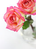 Pink rose on white background — Stok fotoğraf