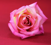 Pink Roses on a red background — Stock Photo