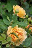 Yelow rosa — Foto de Stock