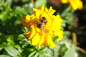 Bee and flower — Stock Photo