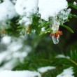 Frozen fir and water drop — Stock Photo