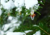 Frozen fir and water drop — Stock Photo