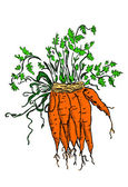 Bunch of carrots — Stock Vector