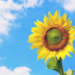 Stock Photo: Landscape of sunflower against cloudy blue sky