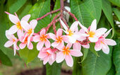 Panicle pink plumeria flowers on its tree. — Stock Photo