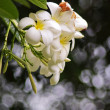 White plumeria flowers with its leaves — Stok fotoğraf