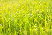 Bright green luscious grass with drops — Stock Photo