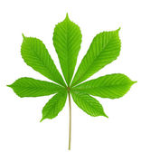Green leaf chestnut — Stock Photo