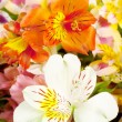 Stock Photo: Bright white alstroemeria
