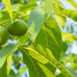 Two green walnuts — Stock Photo