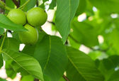 The green fruit of walnut — Stock Photo